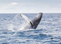 Pescatore inghiottito da una balena: salvo miracolosamente per un colpo di tosse