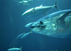 """Animali in via di estinzione, diverse specie di tonno fuori dalla famigerata """"lista rossa"""""""