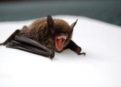 Wuhan, nuove ricerche sull'origine del Covid: gli scienziati inoculavano il virus ai pipistrelli già nel 2018