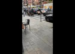 """Roma, cinghiali in strada: """"Altri 5 anni di Raggi e troveremo coccodrilli nel Tevere"""". IL VIDEO"""
