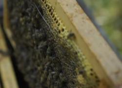 Un apicoltore: se l'ape scompare, scompariremo anche noi