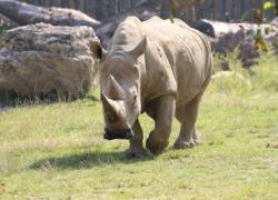 Animali: 2 embrioni di rinoceronte bianco creati a Cremona contro estinzione