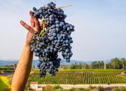 Vino: in Sicilia -11,3% produzione in 2020, prevista grande annata 2021